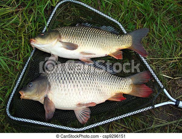 catch carp - csp9296151