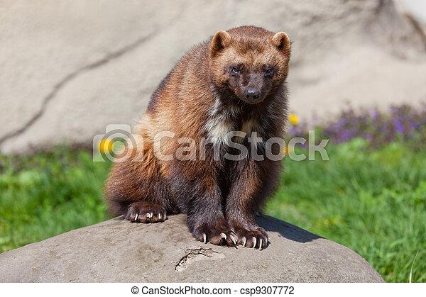 Wolverine on Rock - csp9307772