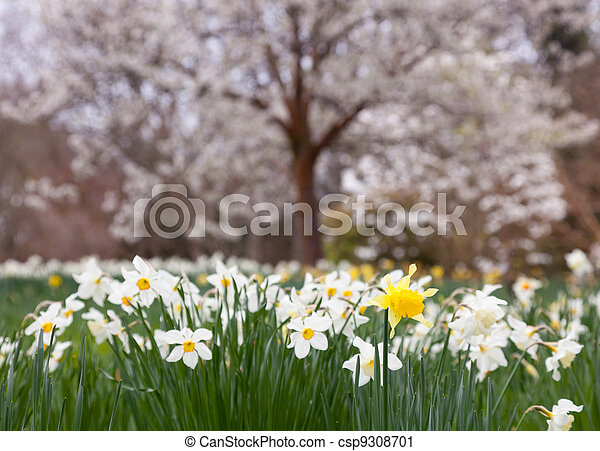 Daffodils surround trees in rural setting - csp9308701