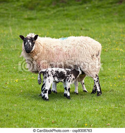 Pair of black welsh lambs in meadow - csp9308763
