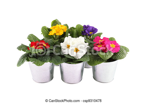 Many Primrose potted plants - csp9310478