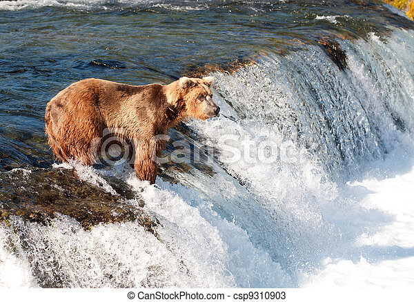 Alaskan brown bear fishing for salmon - csp9310903