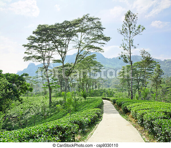 tea plantation emerald green  in the mountains of Sri Lanka - csp9330110