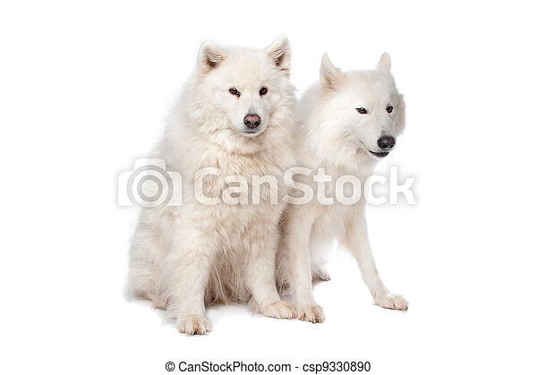 Samoyed (dog) - csp9330890