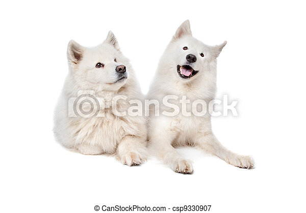 Samoyed (dog) - csp9330907