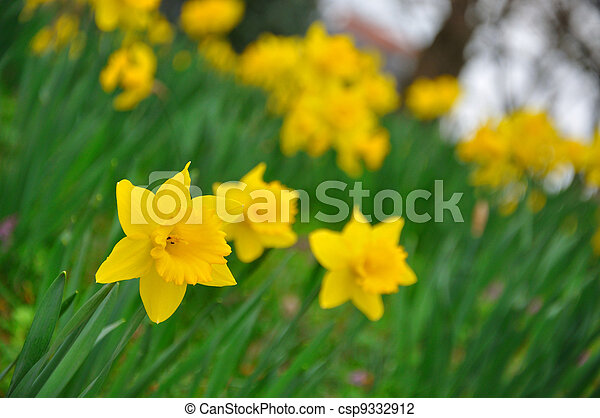 Yellow daffodils flowers in garden of Fulda, Hessen, Germany - csp9332912