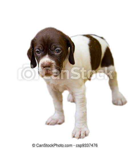 Pedigree Pointer dog puppy - csp9337476