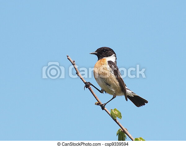 Common Stonechat - csp9339594