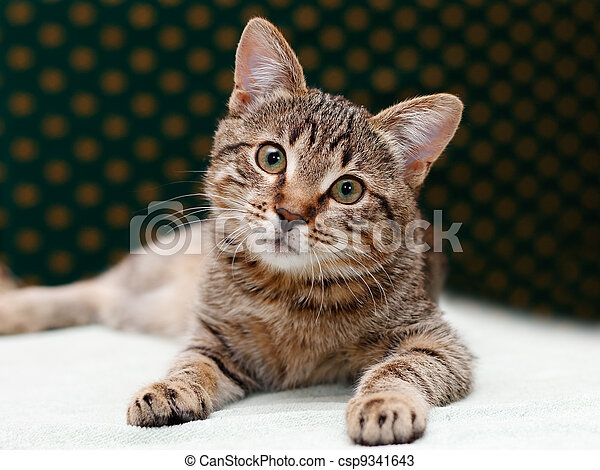 Tabby Cat laying and Looks - csp9341643
