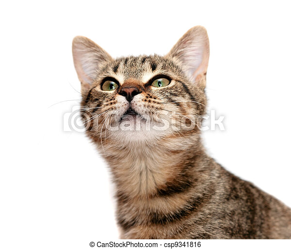 tabby cat looks with interest - csp9341816