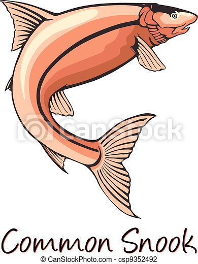 Common Snook, Color Illustration - csp9352492