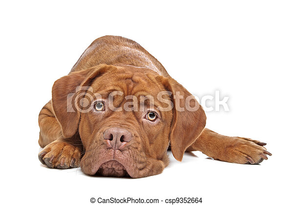 Dogue de Bordeaux - csp9352664