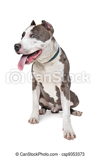 American Stafford with cropped ears - csp9353373