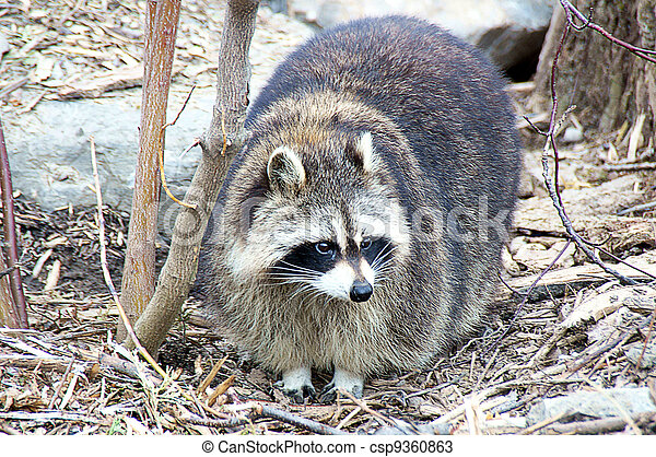 Raccoon - csp9360863