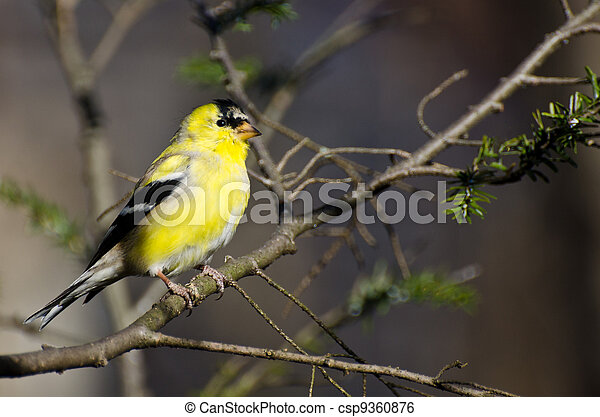 Male Goldfinch Changing to Breeding Plumage - csp9360876