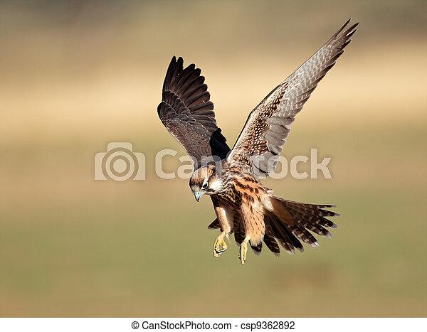 Lanner falcon landing - csp9362892