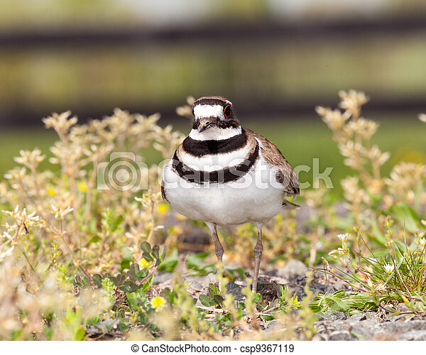 Killdeer bird defending its nest - csp9367119