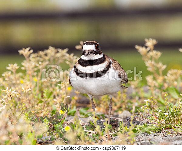 Killdeer bird defending its nest - csp9367119