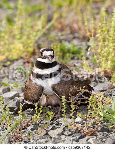 killdeer, pájaro, Defender, su, nido - csp9367142