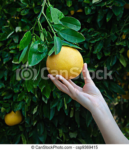 woman holding ripe grapefruit - csp9369415