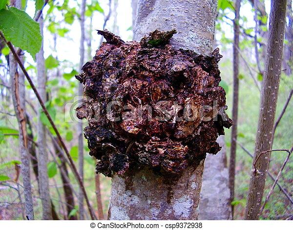 Chaga Mushroom - csp9372938