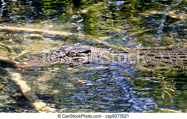 Salt water crocodile - csp9373521