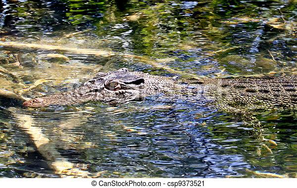 Salt water crocodile - csp9373521
