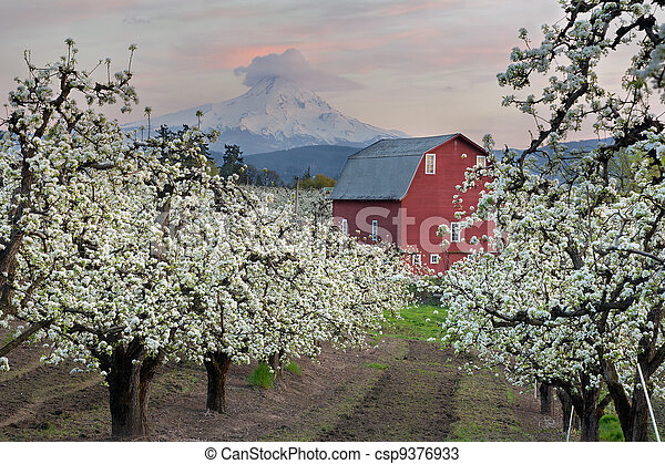 Red Barn in Pear Orchard at Hood River - csp9376933