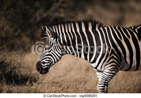 PLAINS ZEBRA (Equus quagga) profile view - csp9389291