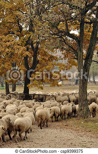 Herd of sheep gathering on a farm - csp9399375