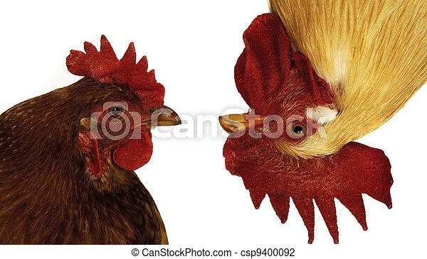 Photo de rigolote poule coq csp9400092 recherchez des - Photos poules rigolotes ...