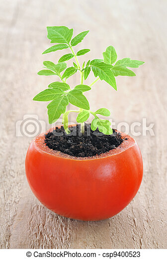 Young tomato plant growing, evolution concept - csp9400523