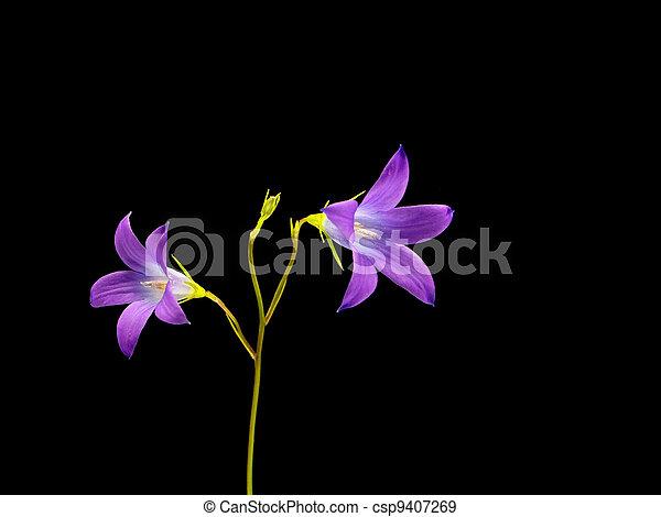 Campanula patula flower  - csp9407269