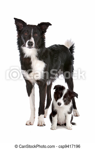 Border collie adult and puppy - csp9417196