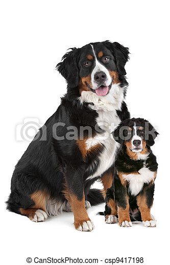 Bernese Mountain dog adult and puppy - csp9417198
