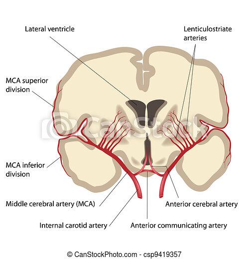 Middle cerebral artery, eps8 - csp9419357