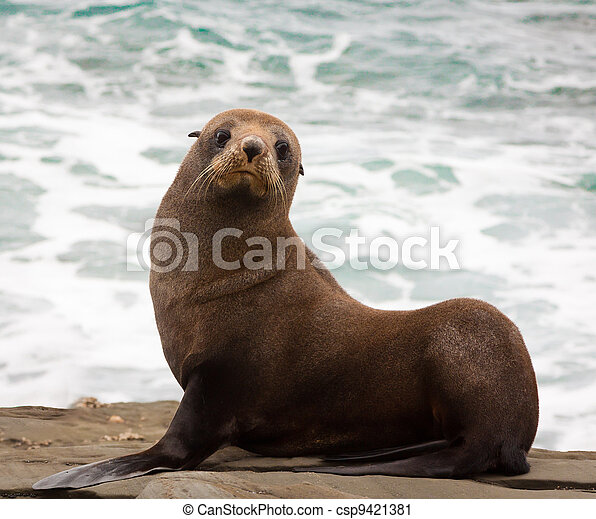 New Zealand fur seal - csp9421381