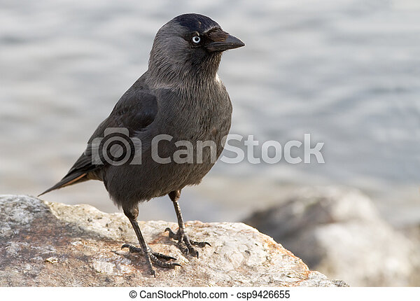 Western Jackdaw. Corvus monedula. - csp9426655