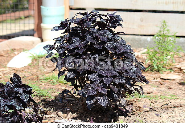 coleus dark star - csp9431849
