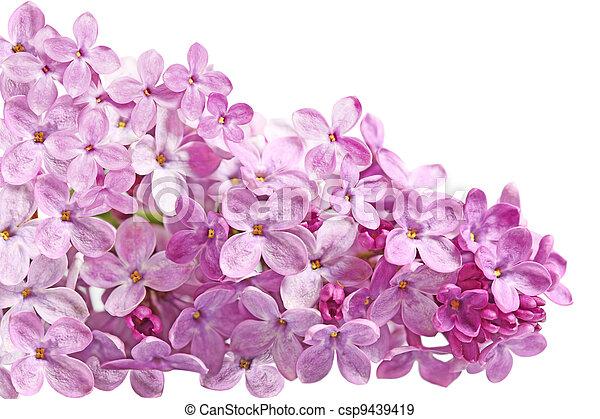 Lilac Blossom - csp9439419
