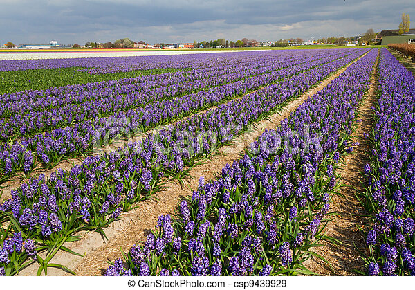 Hyacinthus field in Holland - csp9439929