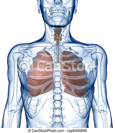 Lungs in the Rib_Cage Front - csp9440849