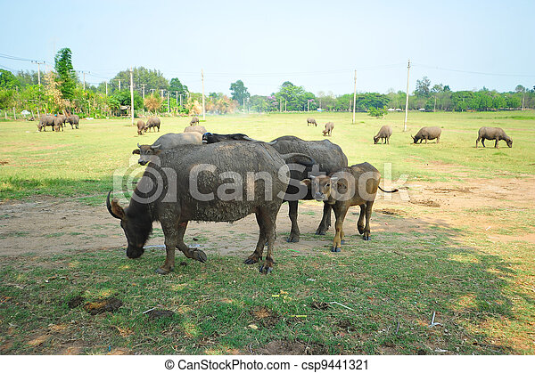 Buffaloes in a field of grass - csp9441321