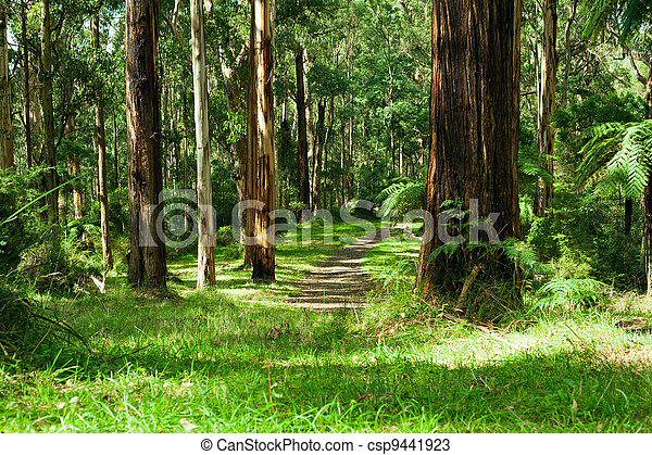 Forest, Dandenong Ranges National Park, Yarra Valley - csp9441923