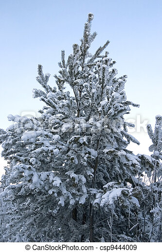 evergreen tree covered by a snow on a background of the clear sky - csp9444009