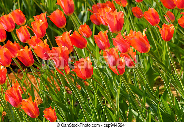 great amount of red tulips - csp9445241