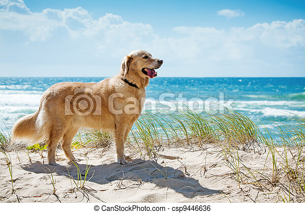 Golden retriever on a sandy dune overlooking beach - csp9446636