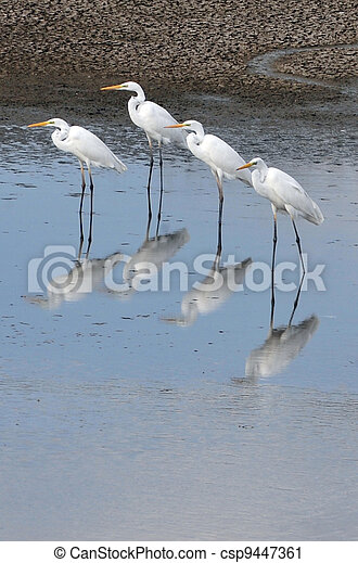 Wildlife Photos - Little Egret - csp9447361