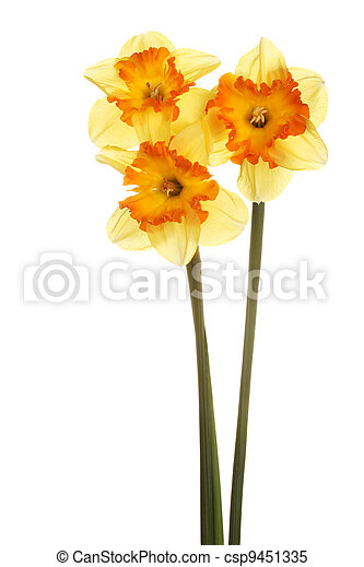 Three stems of orange and yellow daffodils - csp9451335