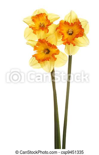 Three stems of orange and yellow daffodils - csp9451335